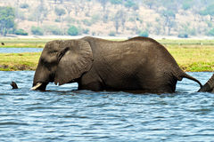 Elephant in water Stock Photo