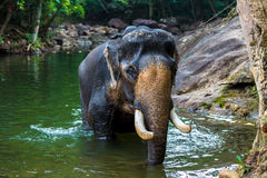 Elephant in the water Royalty Free Stock Photography