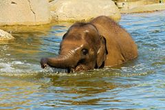 Elephant in water Royalty Free Stock Image