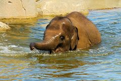 Elephant in water Royalty Free Stock Images