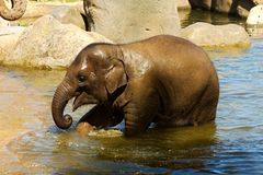 Elephant in water Stock Images