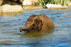 Elephant in water Stock Image