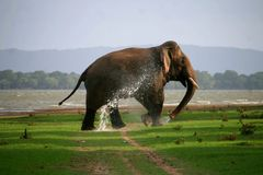 elephant with water stock photo