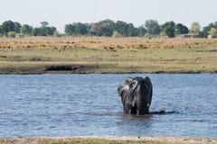 Elephant water crossing. Large African Elephant Loxodonta africana crossing the Chobe River, Botswana stock photo