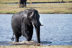 Elephant water crossing. Large African Elephant Loxodonta africana crossing the Chobe River, Botswana royalty free stock images