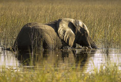 Elephant. In water , Eagle Island , Botswana Stock Image