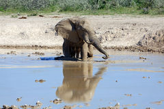 Elephant. At the water hole Stock Photography