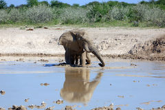 Elephant. At the water hole Royalty Free Stock Photography