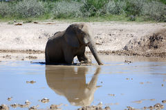 Elephant. At the water hole Stock Image
