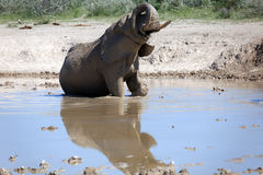 Elephant. At the water hole Royalty Free Stock Image