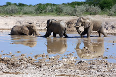Elephant. At the water hole Stock Images