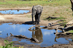 Elephant. At the water hole Royalty Free Stock Images