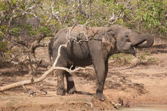 Elephant on water hole Stock Photo
