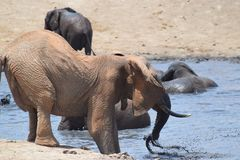 Elephant water hole. An elephant prepares to take water to spray over its body at a waterhole in Tsavo, Kenya stock images