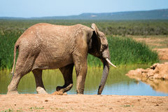 Elephant at a water hole. One elephant at a water hole Royalty Free Stock Images