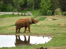 Elephant by the Water Hole Royalty Free Stock Images
