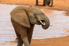 Elephant in water. National park of Kenya stock photography
