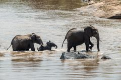 Elephant in water. National park of Kenya. Africa royalty free stock images