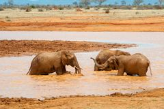 Elephant in water. National park of Kenya stock photos