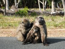 Baboon family  Royalty Free Stock Photos
