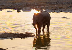 Elephant at the water at sunset Stock Image