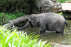 Elephant at a waterhole. Young Elephant at a waterhole royalty free stock image