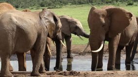 Elephant at the Waterhole stock video footage