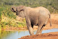 Elephant at waterhole Royalty Free Stock Photos