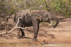 Elephant at waterhole. An elephant drinking at a waterhole in Sri Lanka Stock Photo