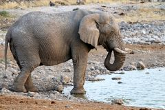 Elephant at the waterhole - Namibia Africa royalty free stock images