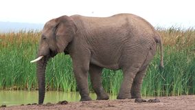 Elephant at Waterhole stock video footage