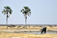 Elephant at Waterhole between Palm Trees Royalty Free Stock Images