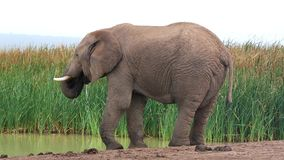 Elephant at Waterhole - Slow Motion stock footage