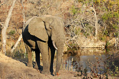Elephant at a waterhole Stock Image