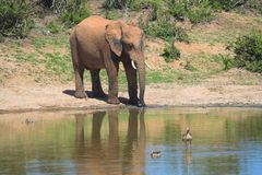 Elephant by watering hole. Scenic view of African elephant reflecting on watering hole with Egyptian Geese in foreground Stock Image