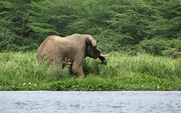 Elephant waterside in Africa Stock Photos