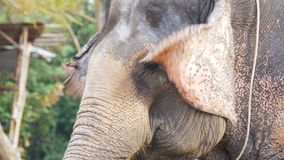 Elephant waving his ears and trunk moves. Thailand, Pattaya stock footage
