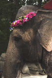 An elephant wearing a flower wreath in a zoo Royalty Free Stock Photography