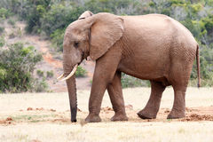 Elephant with a wet trunk Stock Images
