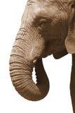 Elephant on white Royalty Free Stock Photo