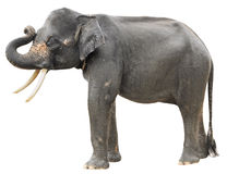 Elephant on white Stock Photo