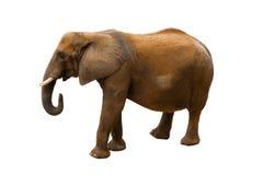Elephant on white background. One elephant on white background Stock Photos