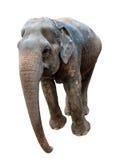 Elephant on a white background Stock Photos