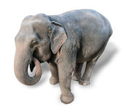 Elephant on a white background Royalty Free Stock Photos