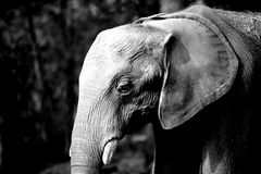 Elephant in white and black Royalty Free Stock Photos