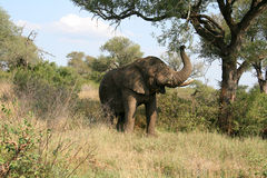 Elephant in the wild. Chewing on some branches Royalty Free Stock Photography
