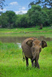 Elephant in the wild Royalty Free Stock Image