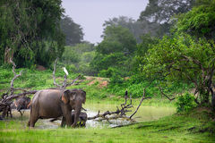 Elephant in the wild Stock Image