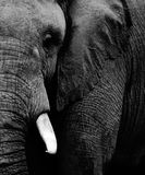 Elephant. Wild African Elephant in black and white Stock Photography