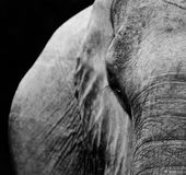 Elephant. Wild African Elephant in black and white Royalty Free Stock Image